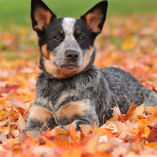 Австралийская короткохвостая пастушья собака: фото, характеристики породы