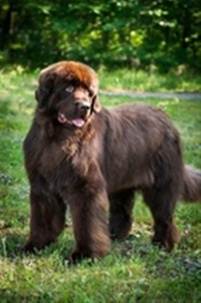 Ньюфаундленд (порода собак)