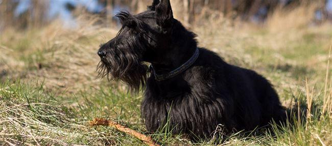 Скотч-терьер собака. Описание, особенности, виды, уход и цена породы скотч-терьер