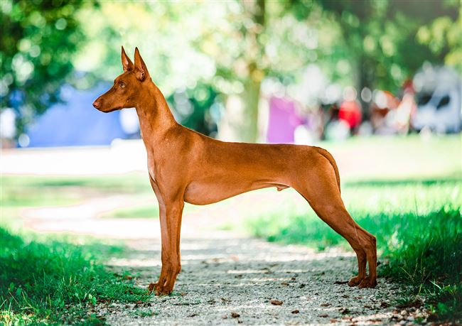 Экзотический грациозный мальтиец – Фараонова собака