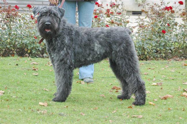 Описание породы собак фландрский бувье: характер, уход, предназначение