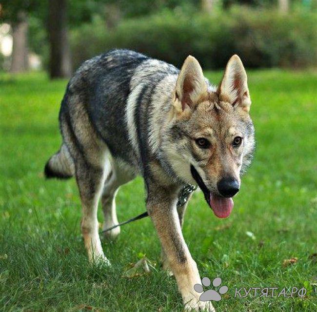 Чехословацкая волчья собака (чешский влчак): стандарт породы, и как подружиться с «ягненком» в волчьей шкуре