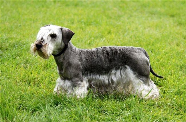 Чешский терьер – описание породы собак, цена