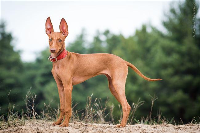 Чирнеко дель Этна (сицилийская борзая собака): описание породы