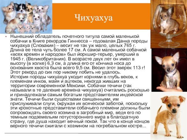 Описание породы собак «Чихуахуа»: особенности характера питомцев и отзывы владельцев