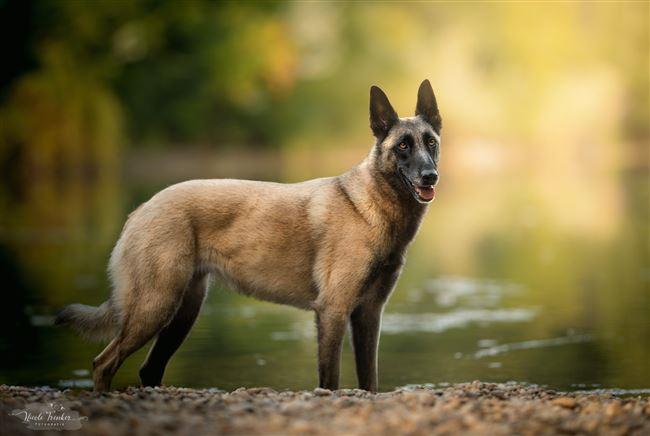 Интересные факты о бельгийских овчарках