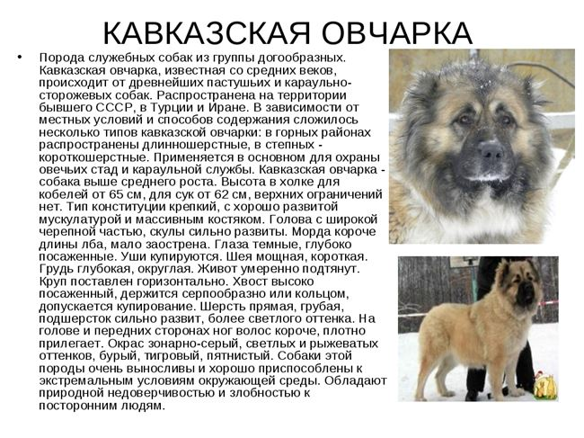 История породы кавказская овчарка