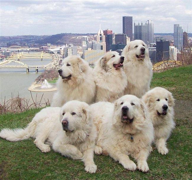 Плюсы и минусы пиренейских горных собак