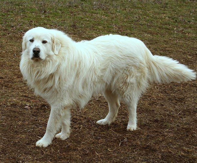 Здоровье и болезни пиренейских горных собак