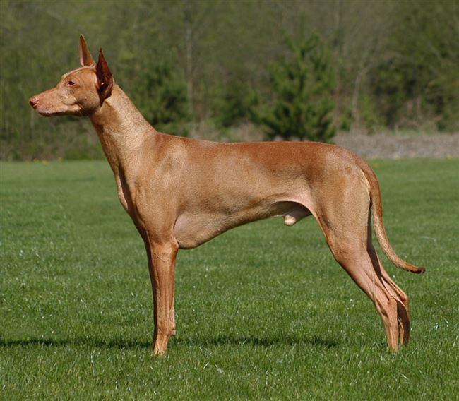 История породы фараонова собака