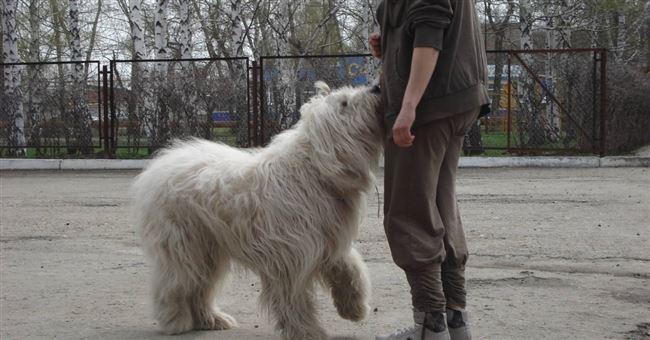 Плюсы и минусы южнорусских овчарок