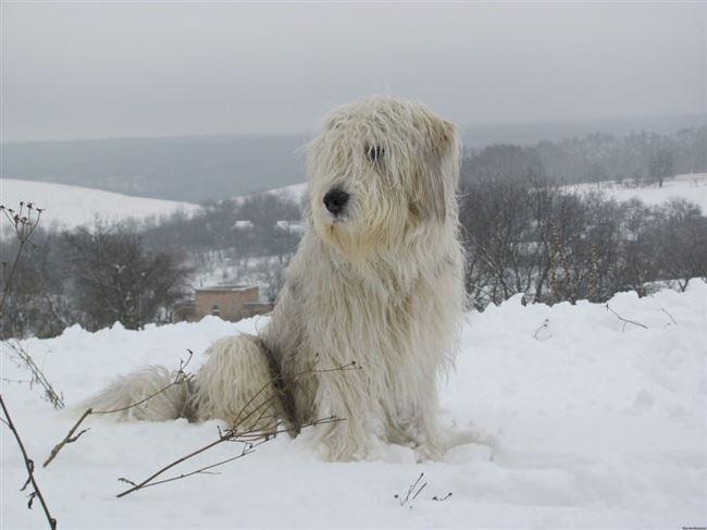 Интересные факты об южнорусских овчарках