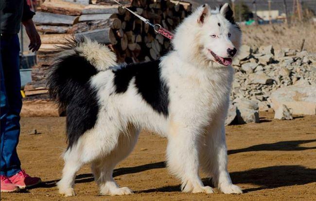 История породы якутская лайка