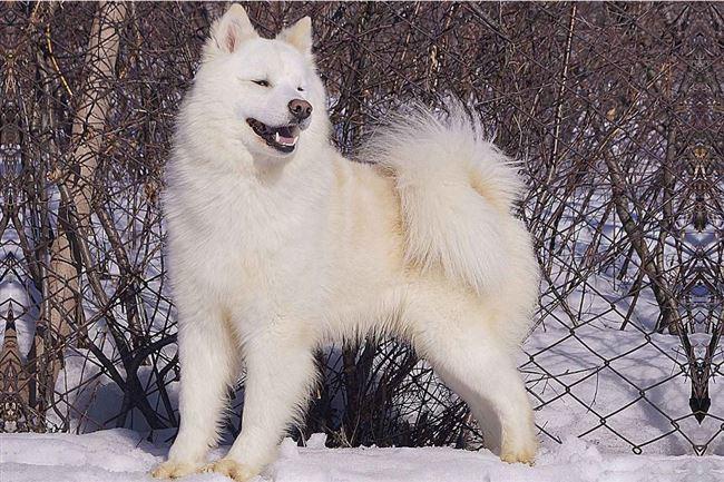 Здоровье и болезни якутских лаек