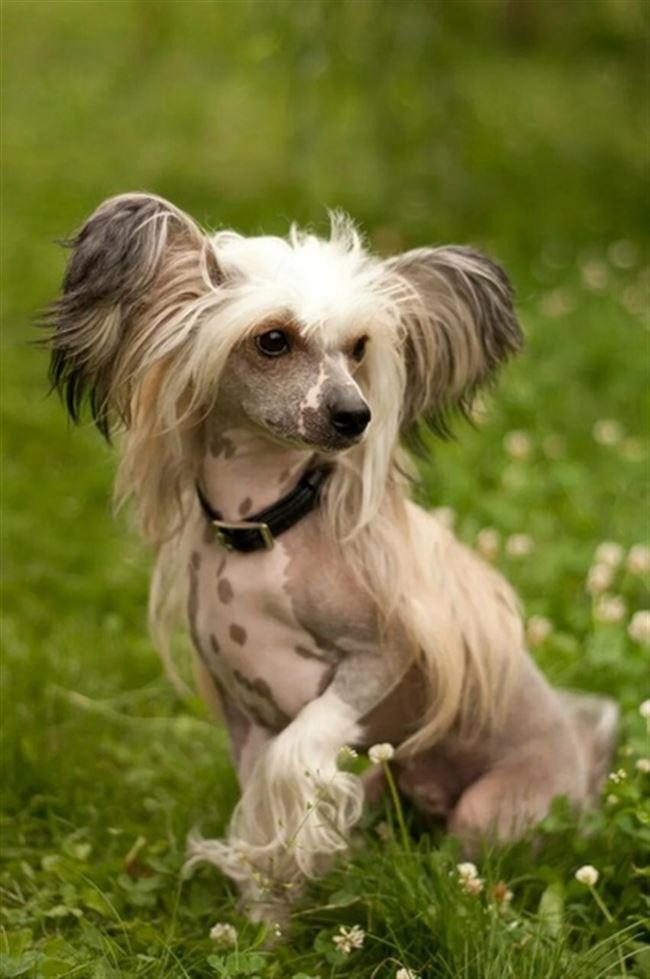 Сколько стоит голая китайская хохлатая собака