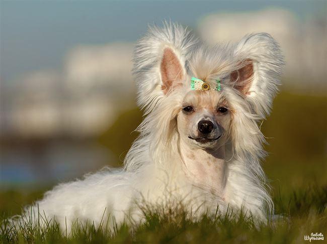 Интересные факты о китайских хохлатых собаках