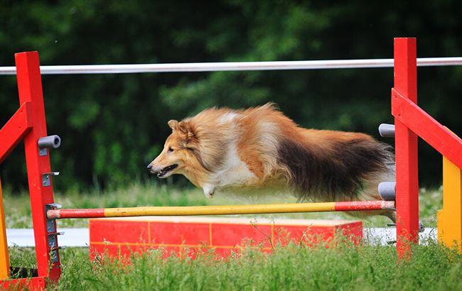 Чем дрессировка шелти отличается от дрессировки других собак
