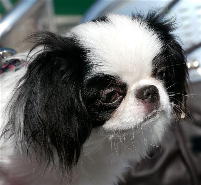 Поклонники породы японский хин приписывают собаке следующие плюсы:
